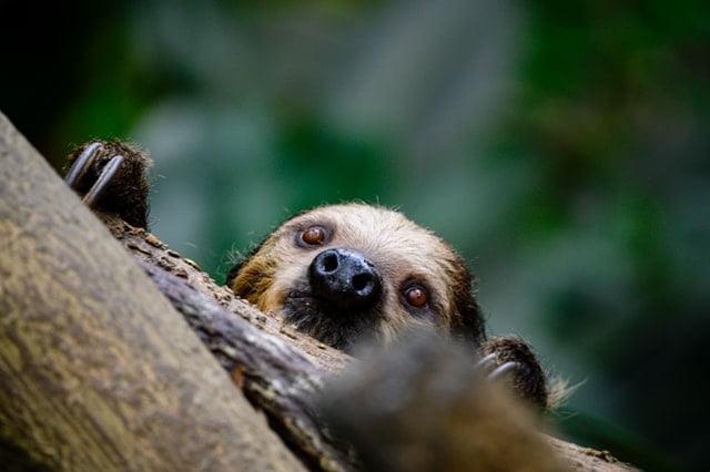 Do sloths bite