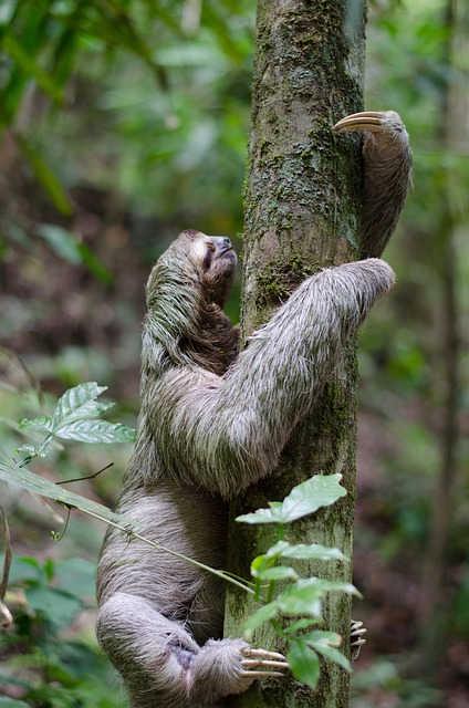 Do sloths die when they poop