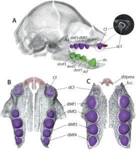 Sloth teeth