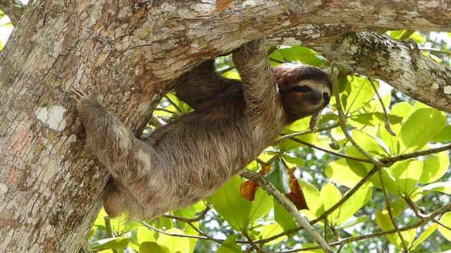 What eats sloths