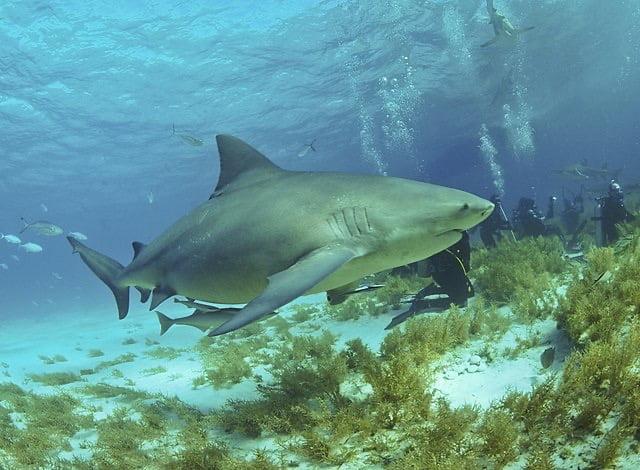 Bull shark teeth