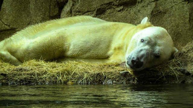 Do polar bears hibernate