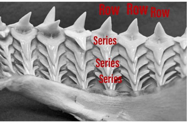 Shark teeth system