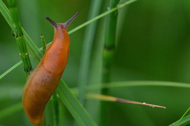 Slug teeth