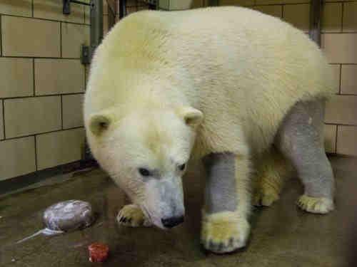 polar bear shaved