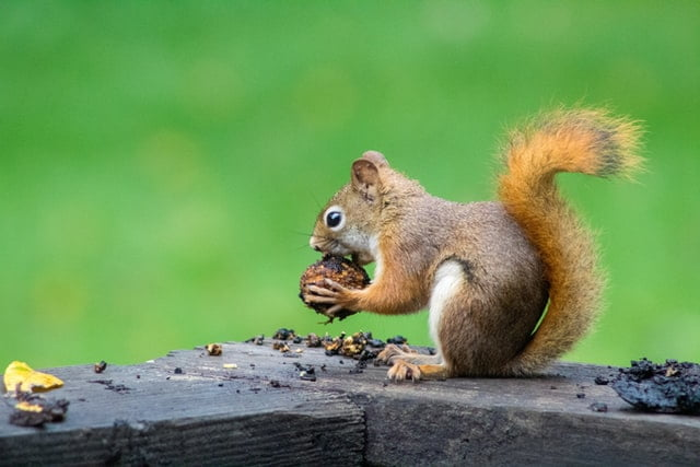 squirrels hibernate