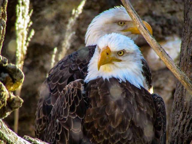 what eats eagles