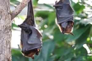 Bat period