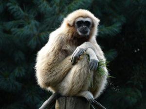 Gibbon period