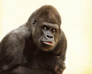 Gorilla period