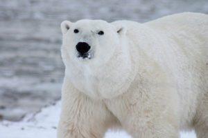 Polar bear vs lion