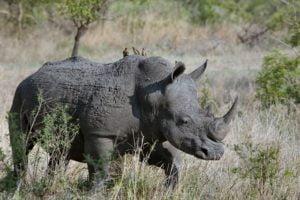 Rhino vs lion