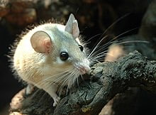 Spiny mouse period