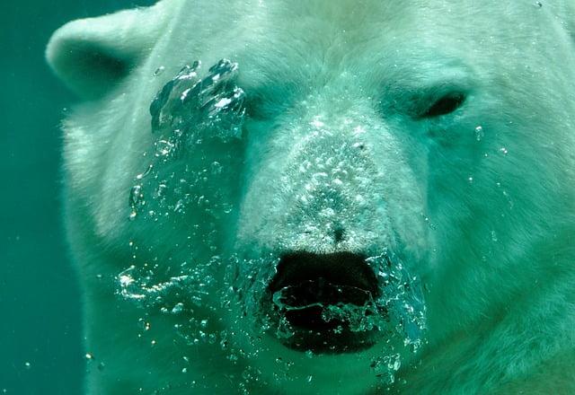 Can polar bears swim