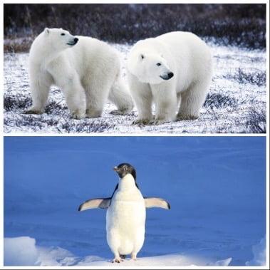 Do polar bears eat penguins