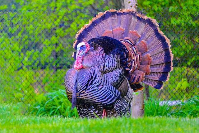 What do wild turkeys eat