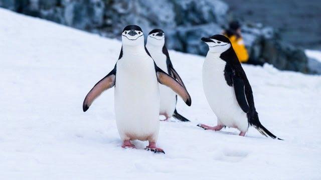 Where do chinstrap penguins live