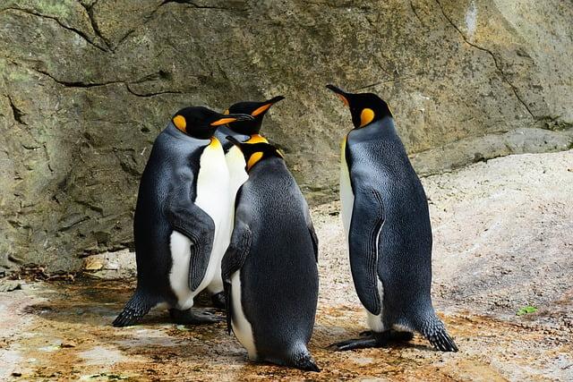 Where do king penguins live